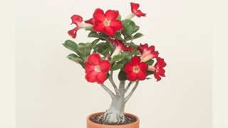 Beautiful Desert Rose How Grow Flower Adeniums