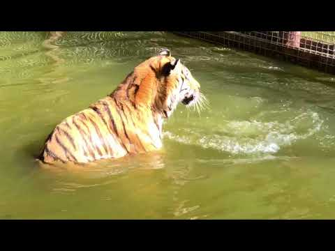 Andy Tiger Splashing CamBu Vacation