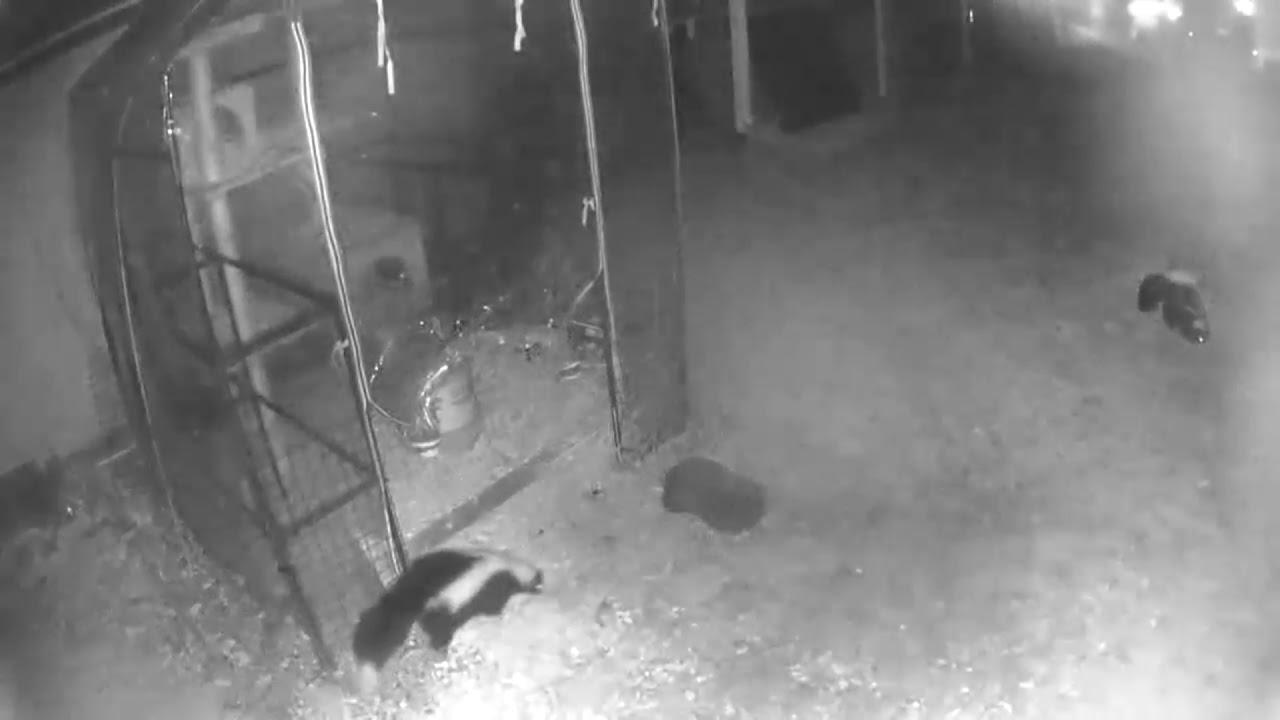 My Backyard Skunks - YouTube