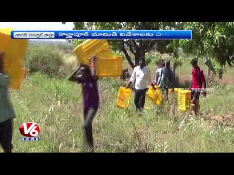 T Govt Plans To Export Kollapur Mangoes For Other Countries | Nagarkurnool | V6 News