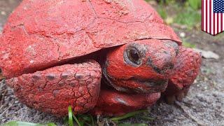 動物虐待?全身を赤く塗られた陸ガメ 米 - トモニュース