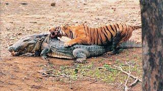 Сумасшедшие Схватки Диких Животных Снятых на Камеру