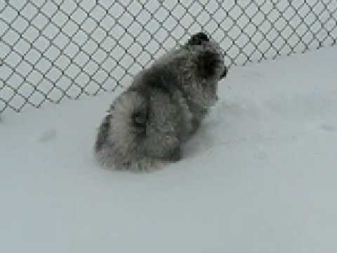Keeshond Puppy Shovels Snow