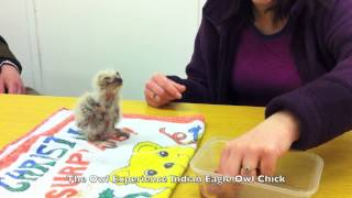12 days old Indian Eagle Owl Chick