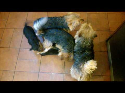 Norwich Terrier puppies  - D.O.B 20.11.2016. 10 weeks with father and uncles