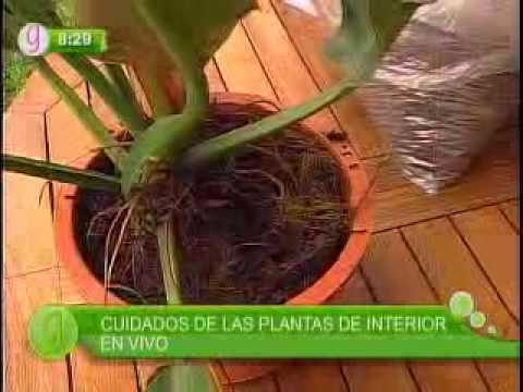 Cuidados de plantas de interior youtube for Cuidado plantas interior