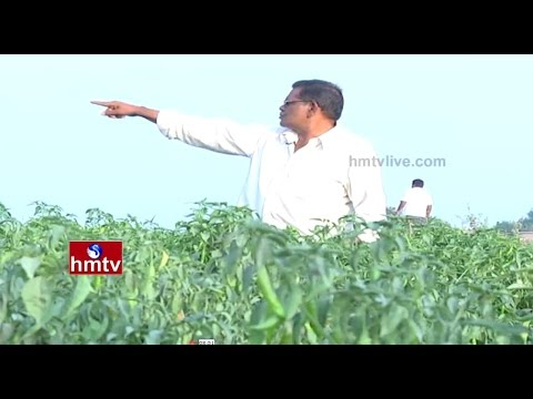 Guntur Chilli Farming Detailed Information Guide | Growing Tips for Chillies | Nela Talli | HMTV