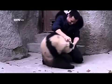 Веселые панды не хотят принимать лекарство.