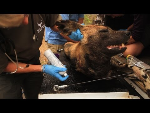 Amazing Rescue of an African Wild Dog