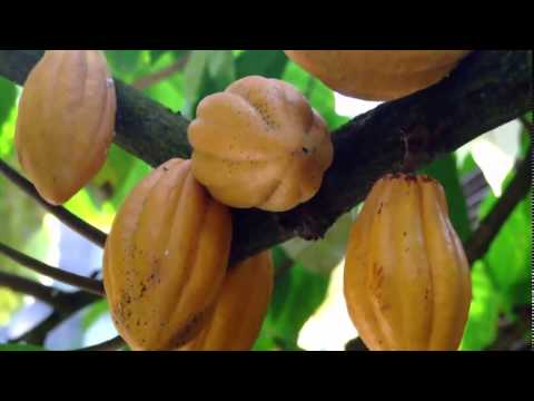 Largest Cocoa Beans Producer in Ghana