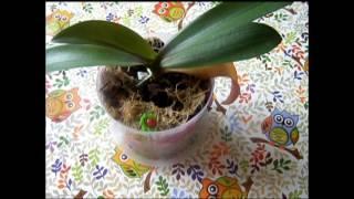 Орхидея Фаленопсис Мини. Еще одно видео о ее листиках.(Орхидея Фаленопсис Мини. Еще одно видео о ее листиках., 2016-11-26T10:07:15.000Z)