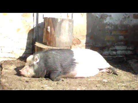 Признаки глистов у свиней и лечение. Признаки и лечение