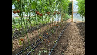 Pruning Tomatoes & Cucumbers