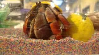 Hermit Crab/Cajun Music