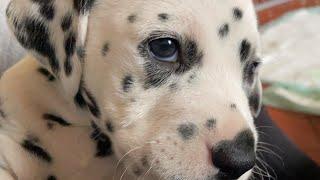 5 week old Dalmatian puppies