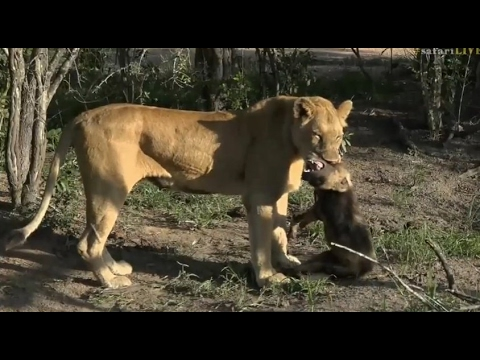 Safari Live : Brent back with the Wild Dog's this afternoon Feb 03, 2017  ( Very Graphic )