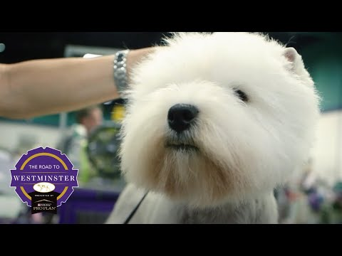 Best of Breed Minute: West Highland White Terrier