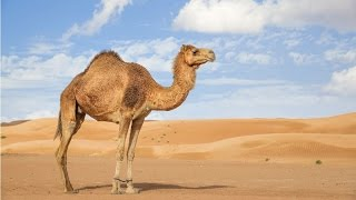 Amazing Facts About Camels