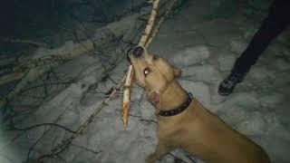 Мертвая хватка, тренировка пит-буля, топ видео, как дрессировать собаку, обучение собак, жесть, стаф