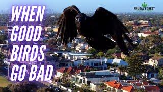 When good birds go bad!