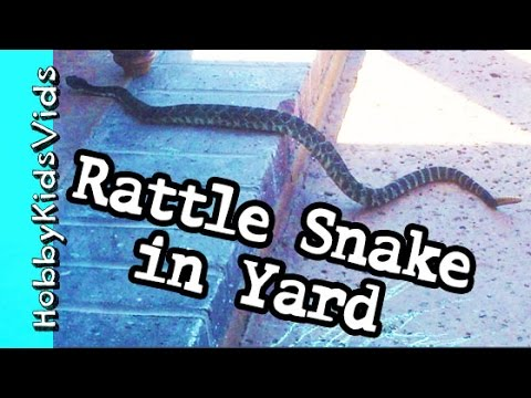 Big RATTLE SNAKE in our Yard! Venomous DANGEROUS Reptile Creepy by HobbyKidsVids