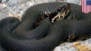 毒ヘビに噛まれるも、病院での治療を拒否 その翌朝…… thumbnail
