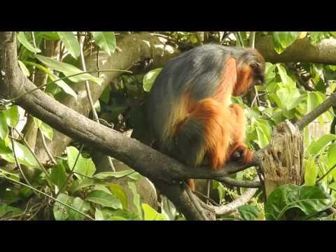 Western-red-colobus Monkey