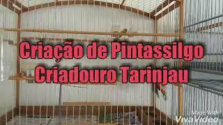 Criação Pintassilgo do criadouro Tarinjau