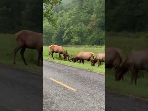 Bull Elk teaches younger bull how to spar in Cataloochee Valley.
