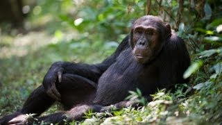 Backstage in the Wild: Yale Insights into Chimpanzee
