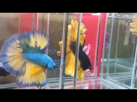 Betta FIsh Super Yellow | Doovi