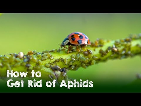 how-to-naturally-get-rid-of-aphids,-white-flies,-and-spider-mites