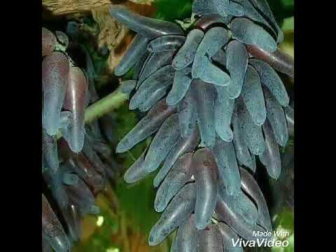 jual-bibit-anggur-smaragd,-anggur-witch-finger,-anggur-viking-bergaransi-085733660033