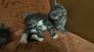 Котята от кошки мейн-кун и шотландского кота