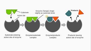 Биология в картинках: Строение и работа ферментов (Вып. 53)