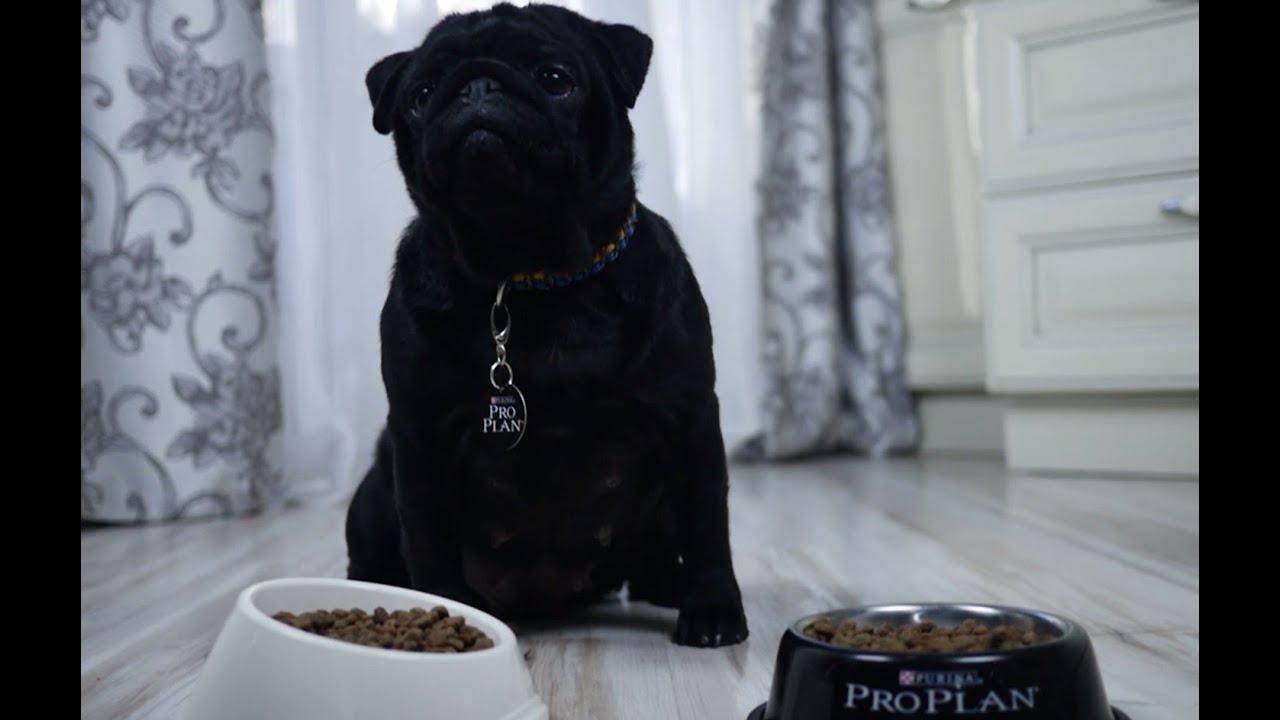 В питомнике лабрадоров kiss of skies можно купить щенка лабрадора ретривера черного,палевого и шоколадного окрасов, все о породе лабрадор.