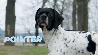 Pointer Dog Breed  Information, Characteristics, Facts