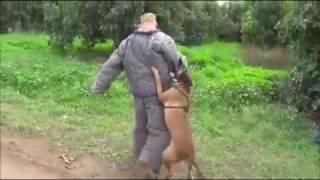 Собака-телохранитель. Высший пилотаж.