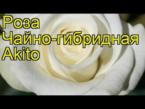 Роза чайно-гибридная Акито. Краткий обзор, описание характеристик, где купить саженцы Akito