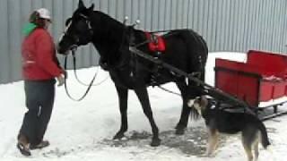 cheval 9ans à vendre (vidéo attelage)
