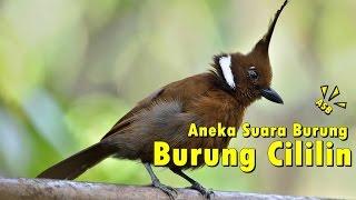 Aneka Suara Burung - Suara Burung Cililin