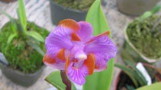 ❀Орхидея. Комнатная. Редкий вид. Мини фаленапсис ✾ Orchid. rare view. Mini phalaenopsis(, 2016-06-18T14:28:44.000Z)