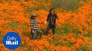 Super bloom of California poppies attract thousands of tourists