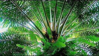 Cultivos y Beneficios de la Palma de Aceite - TvAgro por Juan Gonzalo Angel