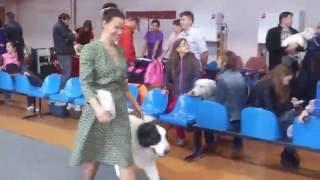 Пиренейский мастиф в России, Редкая порода собак, выставка собак, Altoaragon Dalida