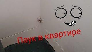 How to catch Huntsman with a plastic box  паук Хантсмен в квартире