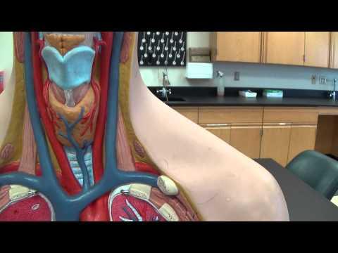 Torso model blood vessels