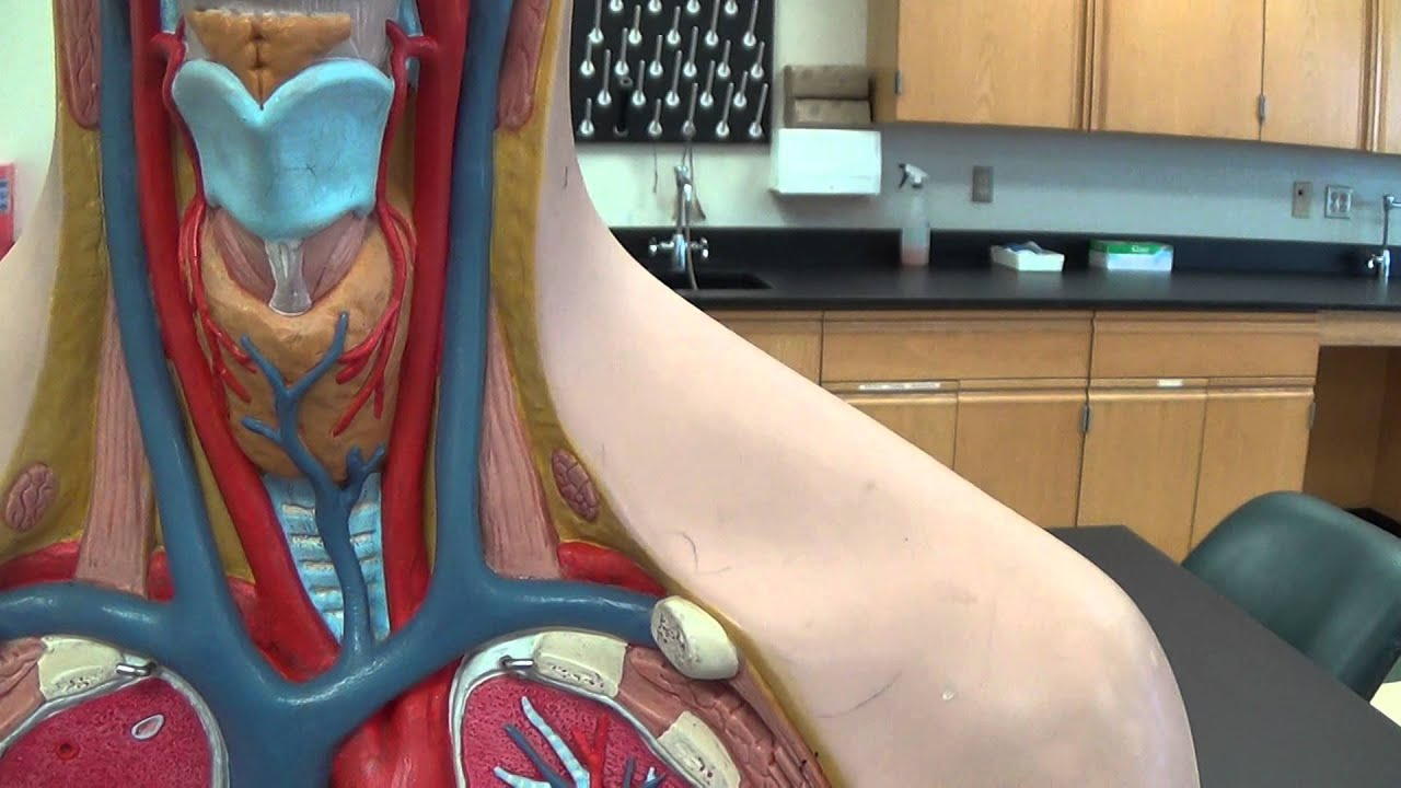 Human Body Artery System
