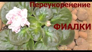 Фиалки Переукоренение или омоложение цветущей фиалки Veilchen