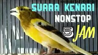 Download lagu Full 5 Jam Nonstop Kicau Kenari Sangat Cocok Buat Pancingan Burung Kesayangan Anda